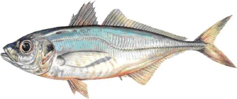 La dieta del pesce azzurro i pi magri le ricette migliori per tutti i tipi - Pesci piu comuni in tavola ...