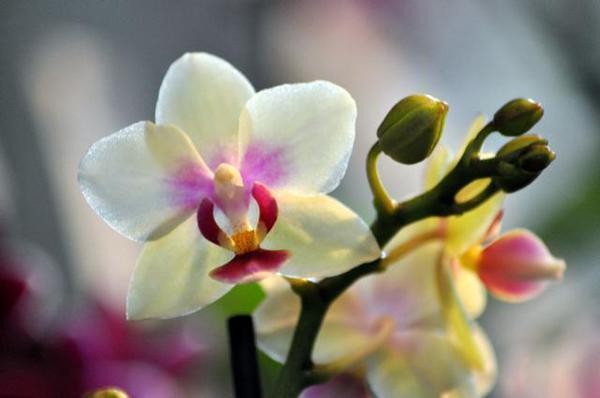 Orchidee come curarle e fare rifiorire for Radici orchidea