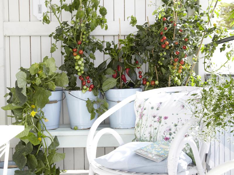 Ortensie Sul Balcone : Orto sul balcone consigli per coltivare gli ortaggi