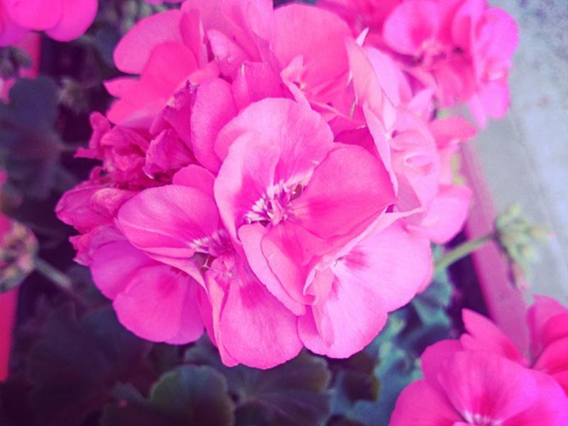 10 fiori da balcone invernali e primaverili facili da coltivare - Fiori Da Balcone