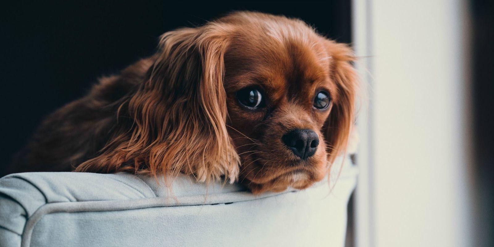Cani da appartamento: quali sono le razze di taglia piccola e media